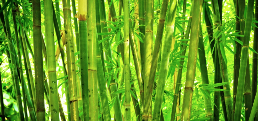bamboo is a grass | WeatherStationary.com