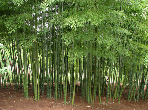 running bamboo | WeatherStationary.com