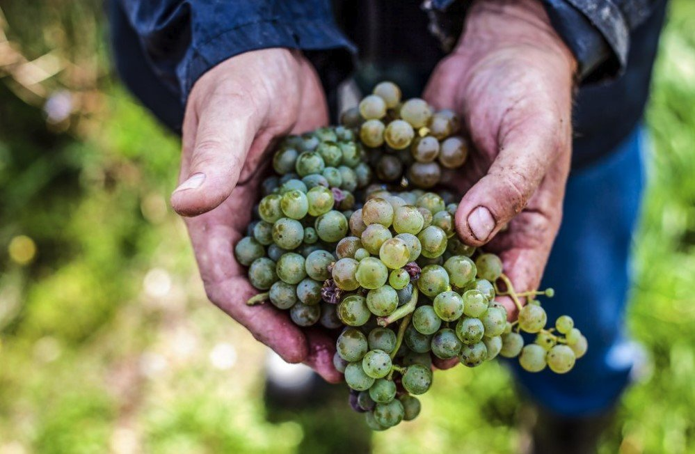 terrior effects in grapes | WeatherStationary.com